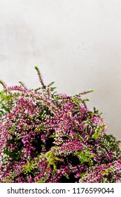 Common Heather. Purple heather flowers on grey background. Calluna vulgaris.