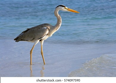 A common heron on the hunt after fish in the sea