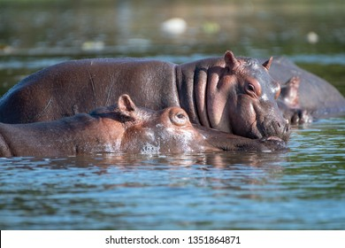 """The common hippopotamus (Hippopotamus amphibius), or hippo. The hippopotamuses love water, which is why the Greeks named them the """"river horse."""""""