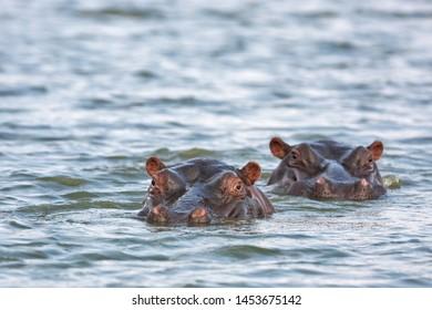common hippopotamus, hippopotamus amphibius, hippo, Kruger national park