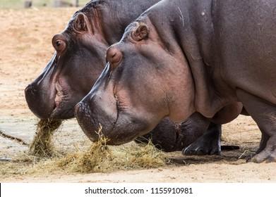 The common hippopotamus, Hippopotamus amphibius, or hippo, is a large, mostly herbivorous, semiaquatic mammal native to sub-Saharan Africa