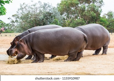 The common hippopotamus, Hippopotamus amphibius, or hippo, is a large, mostly herbivorous, semiaquatic mammal native to sub-Saharan Africa
