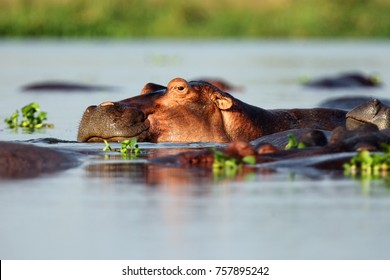 The common hippopotamus (Hippopotamus amphibius), or hippo lying in water. Portrait of a hippo lying in water full of water hyacinths.