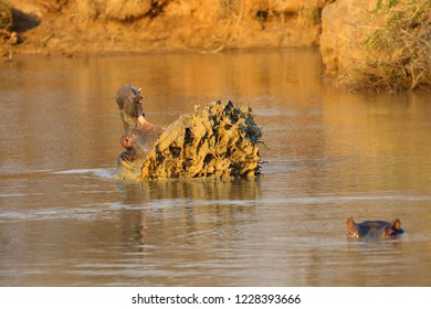 The common hippopotamus (Hippopotamus amphibius), or hippo opens his mouth when warning his opponent.The hippopotamus mopes the jaws with muddy water.
