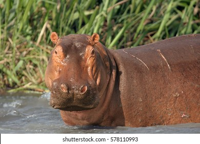 The common hippopotamus (Hippopotamus amphibius), hippo portrait.