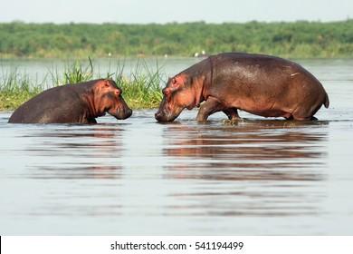 The common hippopotamus (Hippopotamus amphibius), or hippo, two hippos in shallow water