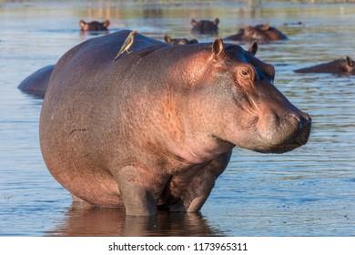 Common hippopotamus or hippo (Hippopotamus amphibius) and red-billed oxpecker (Buphagus erythrorhynchus). Okavango Delta. Botswana