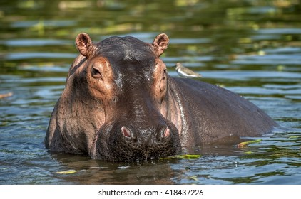 The common hippopotamus in the water.  Africa