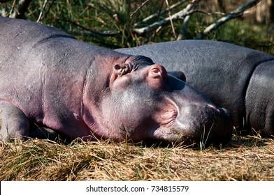 The common Hippopotamus(hippopotus Amphibius) resting. This image was taken in the St. Lucia estuary in South Africa.