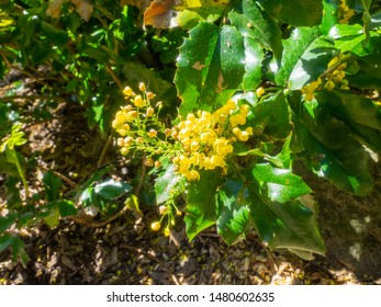 Common holly (Ilex aquifolium) is a species of holly native to western and southern Europe, northwest Africa, and southwest Asia.