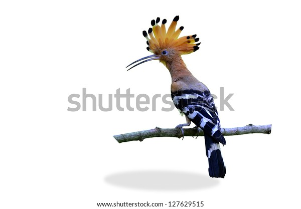 Common Hoopoe or Eurasian Hoopoe on the branch with nice green background