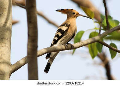Common Hoopoe. Lovely species. Clicked during night photo-walk in Gujarat, India.