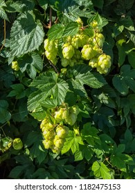 Common hop, Humulus lupulus, with fruits