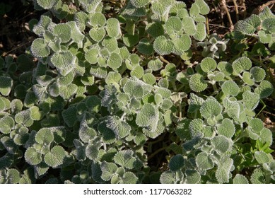The common horehound, a medicinal plant, also called medicinal herb, The common horehound (scientific name of the Horehound vulgare) is a small officinal herbaceous plant, as well as robbio or mentast