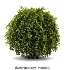 common hornbeam bush isolated on white background