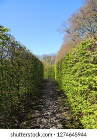 Common Hornbeam hedge, Caprinus betulus, in spring