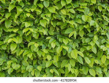 Common hornbeam is often cultivated as an ornamental tree, for planting in gardens and parks.