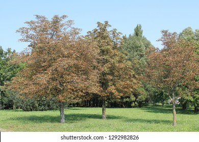 Common horse-chestnut (Aesculus hippocastanum) trees with dried brown leaves in summer park. Horse-chestnut leaf miner (Cameraria ohridella) damage