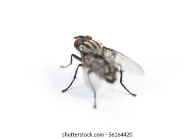 A common house fly, isolated on white.