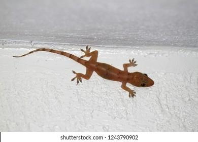 Common House Gecko (Hemidactylus frenatus) on a wall in Florida