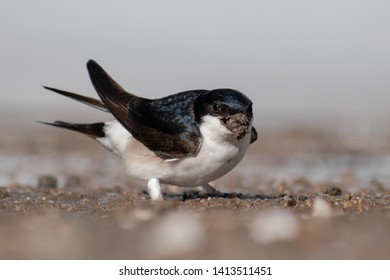 Common House Martin (Delichon urbicum) buildling its nest. Small bird with mud in its beak. Czech Republic