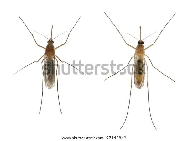 Common house mosquito - Culex pipiens
