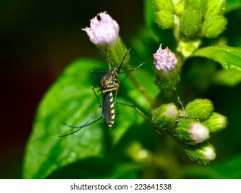 common house mosquito  on green leaf