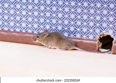 A Common house mouse (Mus musculus) from a hole in the wall