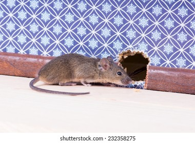 A Common house mouse (Mus musculus) in the wall near the mink