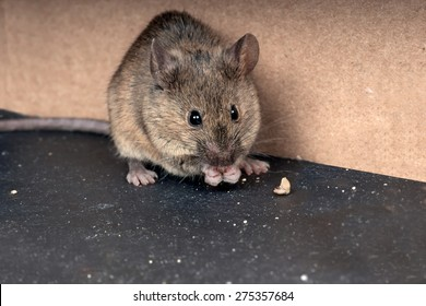 Common house mouse  (Mus musculus) gnaws grain