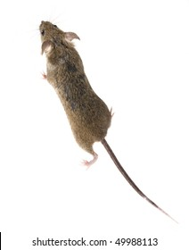Common house mouse (Mus musculus) top view