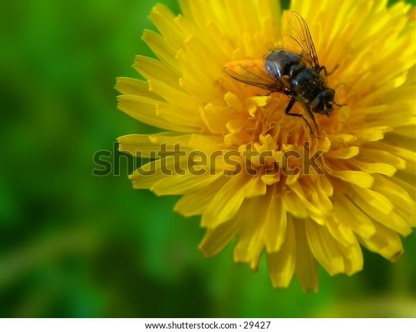 Common housefly sitting on danelion