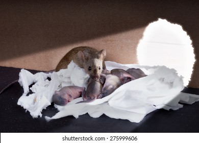 Common house-gray mouse with newborn mice near the exit of the hole