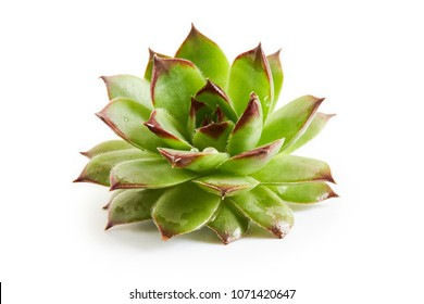Common houseleek (Sempervivum tectorum) isolated on white background