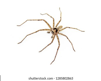Common huntsman spider, Heteropoda venatoria crawling on white background. is a spider that is not dangerous to humans. live by eating insects and small animals. commonly found in homes.