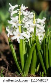 Common Hyacinth (Hyacinthus orientalis), flowers of springtime