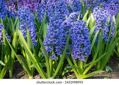 Common Hyacinth (Hyacinthus orientalis), flowers of springtime