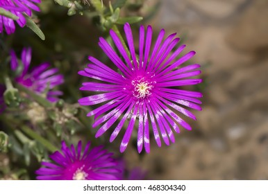 Common Ice plant, Mesembryanthemum crystallinum, close up