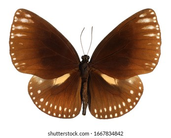 Common Indian Crow, Euploea core, butterfly isolated on white background.