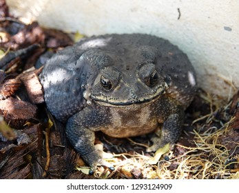Common indian toad (Duttaphrynus melanostictus) resting in the home garden. It is commonly called Asian black spined toad, black spectacled toad, and Javanese toad.