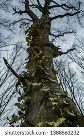 common ivy climbing up on the old majesty hornbeam tree