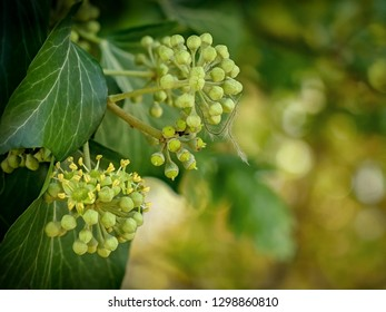 Common Ivy flowers - Hedera helix - detail shot