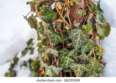 Common Ivy or Hedera helix