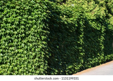 Common Ivy or Hedera helix covering wall