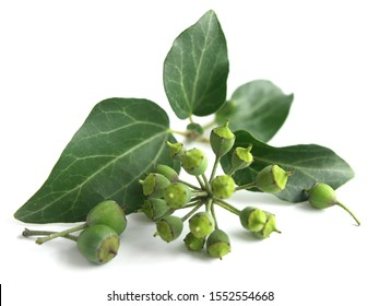 Common ivy (Hedera helix) isolated