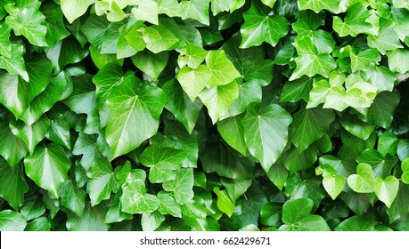 Common ivy leaf wall background (Hedera helix)