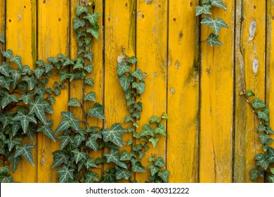 common ivy on yellow wood wall