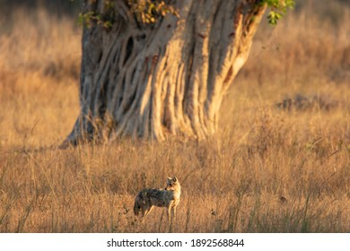 Common Jackal in Kanha National Park in India