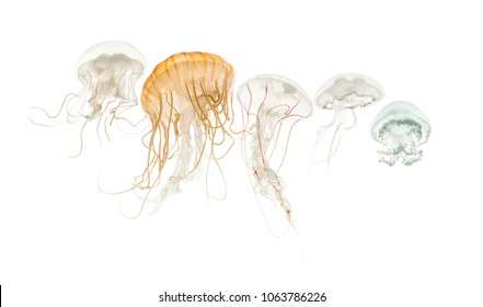 Common jellyfish, Aurelia aurita, Cannonball jellyfish, Stomolophus meleagris, Purple-striped jellyfish, Chrysaora colorata and Disc jellyfish, Sanderia malayensis, against white background