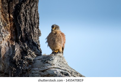 The common kestrel is a bird of prey species belonging to the kestrel group of the falcon family Falconidae. It is also known as the European kestrel